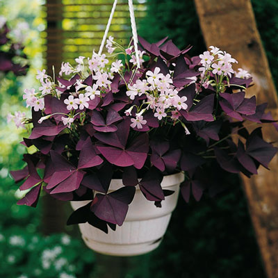 Burgundy Shamrock (Oxalis triangularis)