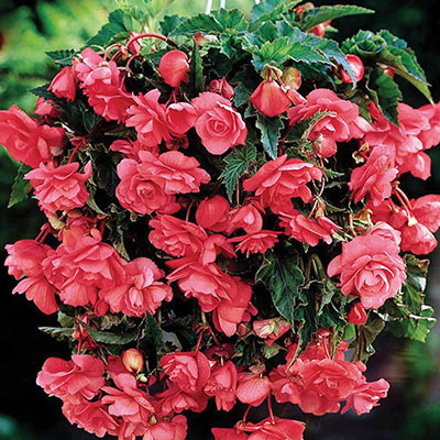 Double Hanging Basket Begonias Pink
