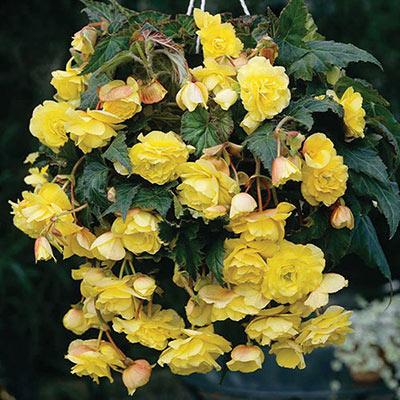 Double Hanging Basket Begonias Yellow