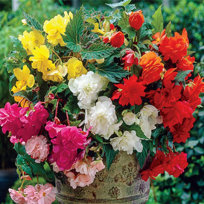 Double Hanging Basket Begonias Mixed