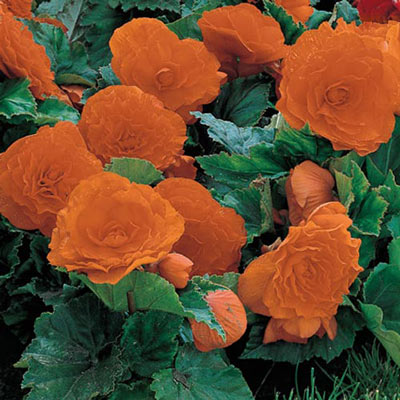 Non-Stop Begonias Orange