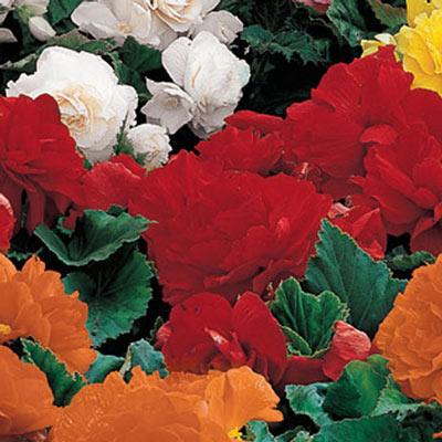 Non-Stop Begonias Red