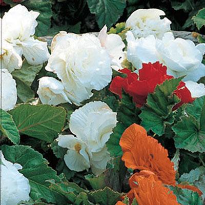 Non-Stop Begonias White