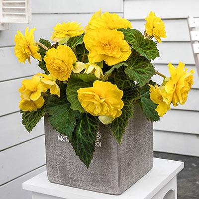 Non-Stop Begonias Yellow