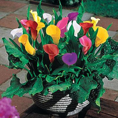 Hybrid Calla Lilies Mix