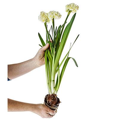 Summer Daffodil (Narcissus Erlicheer)
