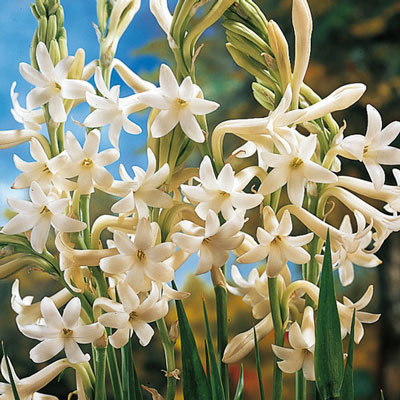 Tuberoses (Polianthes) Single Mexican