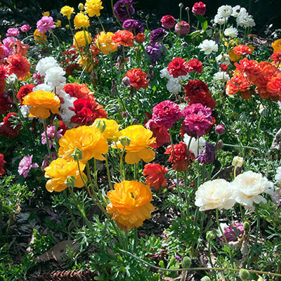 Ranunculus Mixed (Persian Buttercup)