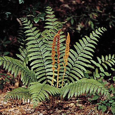 Cinnamon Fern (Osmunda cinnamonea)