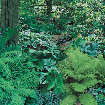 Native Woodland Fern Mix