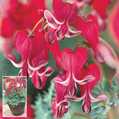 Dicentra Burning Hearts<sup>&reg;</sup>