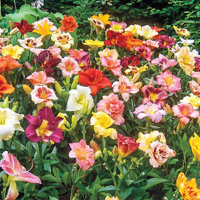 Select Daylily Mixture