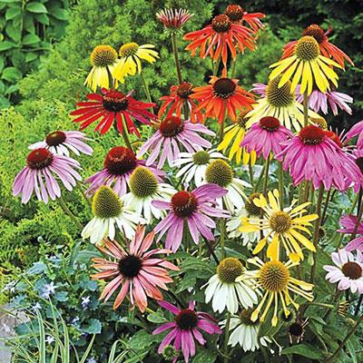 Echinacea Mixed