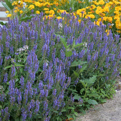 Salvia nemorosa May Night (Sage)