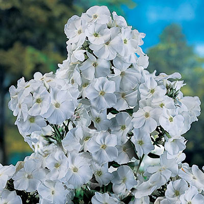 Hardy Tall Phlox David