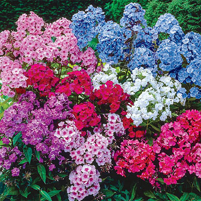 Hardy Tall Phlox Mix