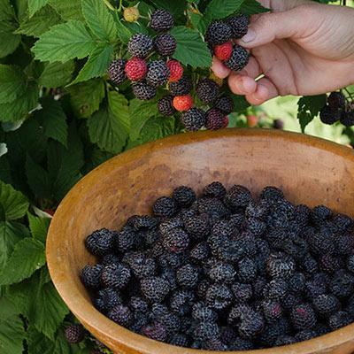 Raspberry Cumberland