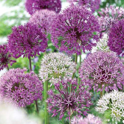 Giant Allium Duet