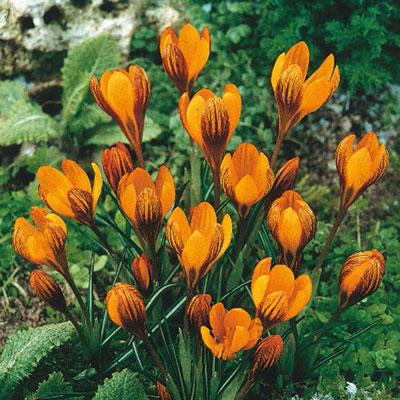 Species Crocus Orange Monarch<sup>®</sup>
