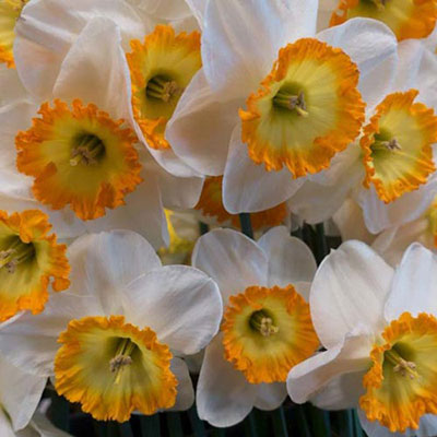 Large Cupped Daffodil Roulette