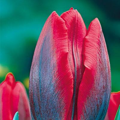 Triumph Tulip Couleur Cardinal