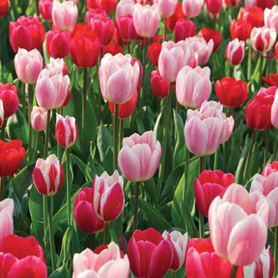 Perennial Delight Tulip Mix