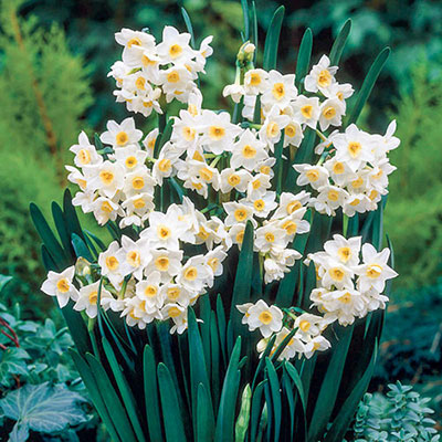 Tazetta Daffodil Grand Primo