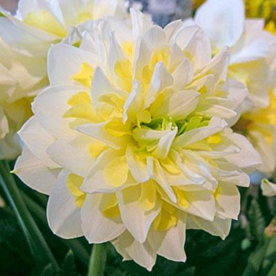 Double Daffodil Irene Copeland