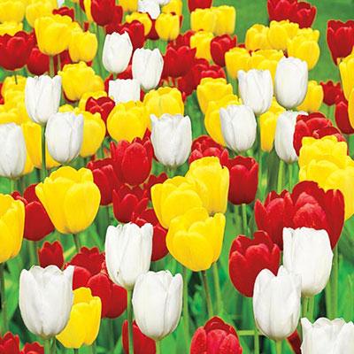Long-Stemmed Perennial Tulip Trio