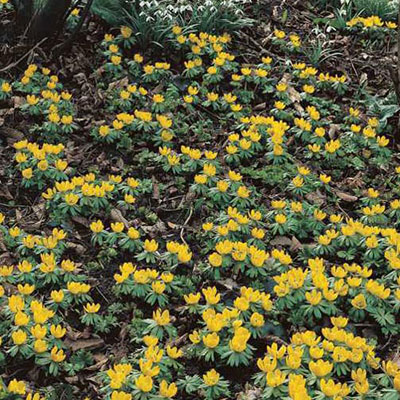 Winter Aconite (Eranthis cilicica)