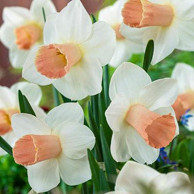 Trumpet Daffodil Pink Silk