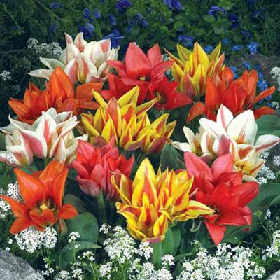 Bouquet Tulip Border