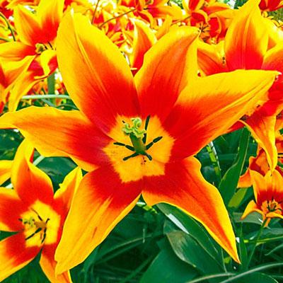 Lily Flowering Tulip Synaeda King
