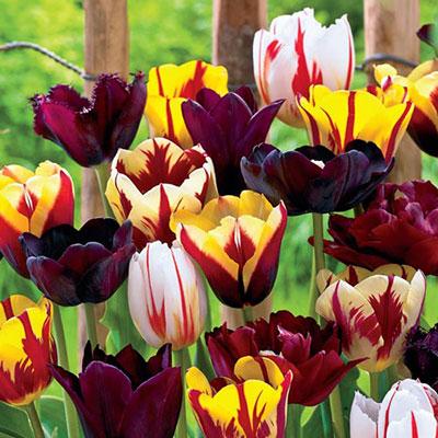 Dark Passion Tulip Blend