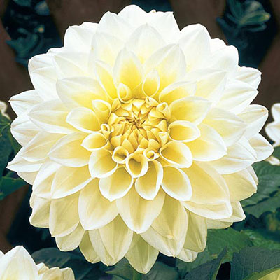 Large Decorative Dahlia Lillehammer