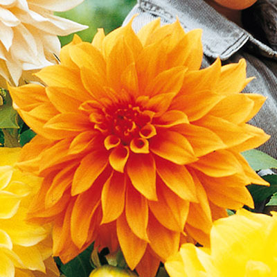 Large Decorative Dahlia Noordwijks Glory