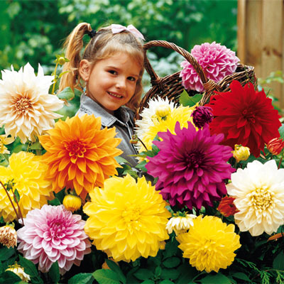 Large Decorative Dahlia Mixed