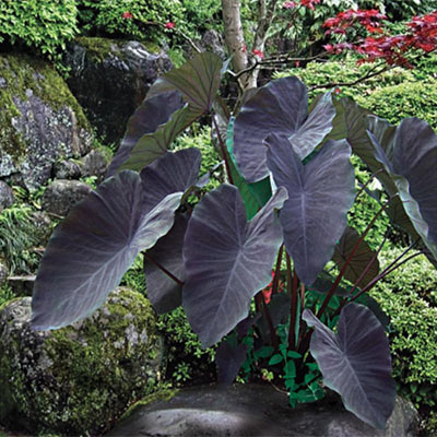 Colocasia esculenta Black Magic