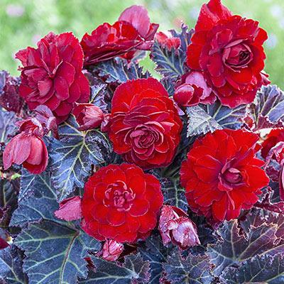 Begonia Switzerland