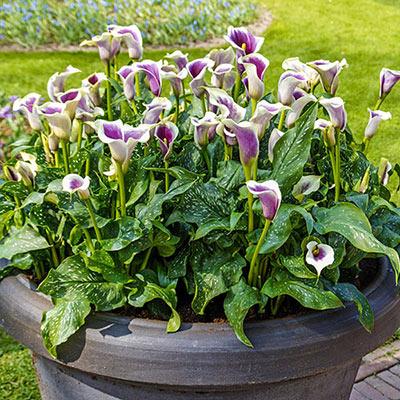 Hybrid Calla Lilies Vermeer
