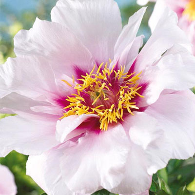 Itoh Peony Cora Louise