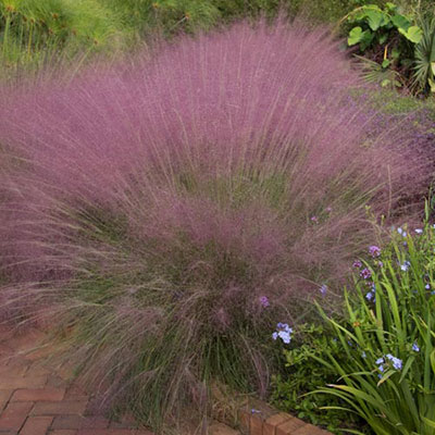 Cotton Candy Ornamental Grass