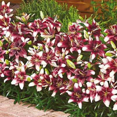 Border Lilies Push Off