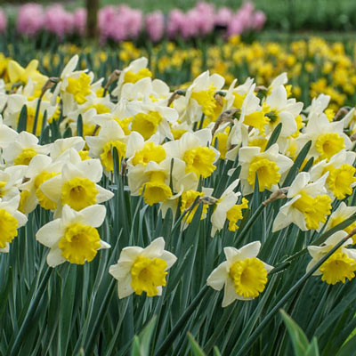 Trumpet Daffodil Goblet