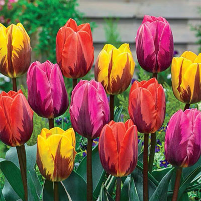 Princess Tulip Mix
