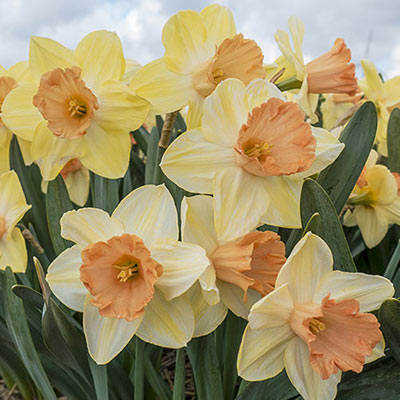 Large Cupped Daffodil Tickled Pinkeen