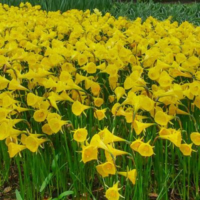 Narcissus Bulbocodium Oxford Gold<sup>®</sup>