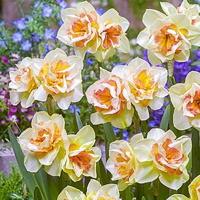 Split-Corona Daffodil Sweet Ocean