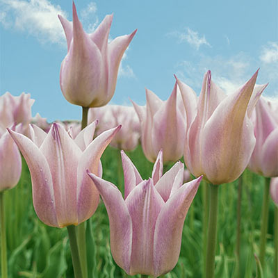 Lily Flowering Tulip Silver Ballade