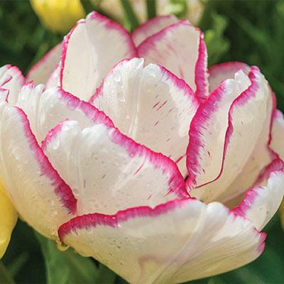 Double Peony Tulip Belicia